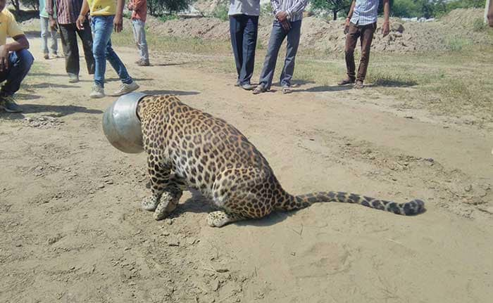 5 Pics: Leopard Gets Head Stuck in a Pot
