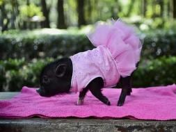 Photo : Mini Pigs are Mexico's New Favourite Pets