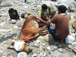 Photo : Uttarakhand: Mule rescued after 27 days in a daring operation