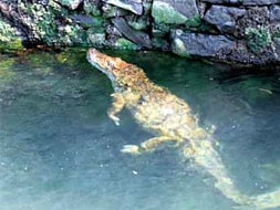 Photo : 20-hour operation to rescue crocodile near Pune