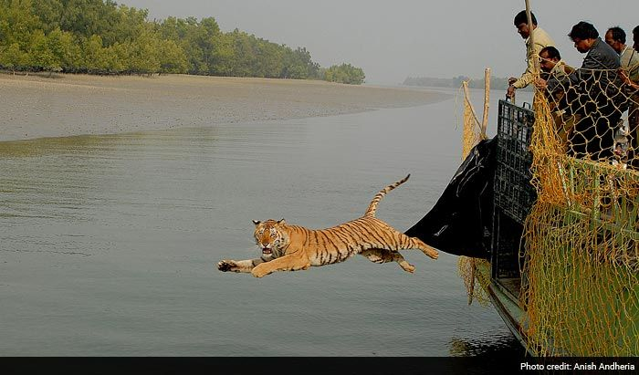 Save Our Tigers: 12 Pictures of Tiger That are Adorably Majestic