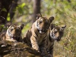 Photo : Save Our Tigers: 12 Pictures of Tiger That are Adorably Majestic