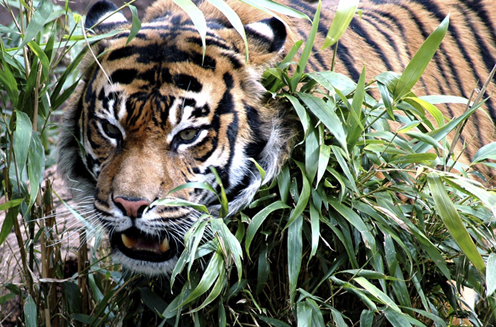 10 Unusual Facts About Tigers
