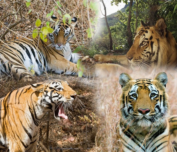 our national animal tiger Our national animal they say it is now around 6 months since we saw the save a tiger campaign come into being when thinking about wildlife conservation, what comes to mind is the plight of the indian tiger.