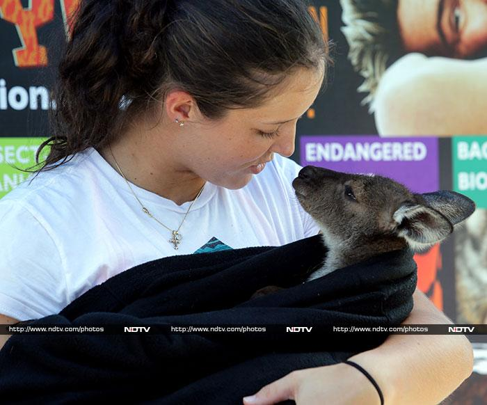 Of course, compared to a python, an eastern grey kangaroo joey is just too cute to send the heart pumping.