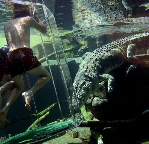 Australian cricketer Nathan Bracken (left) and fielding coach Mike Young in the 'Cage of Death' for an upclose experience with 80-year-old crocodile 'Chopper' in Darwin.