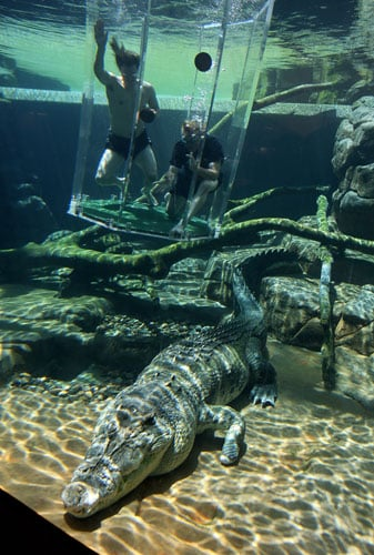 Australian cricketer Nathan Bracken (above L - without top) and fielding coach Mike Young (above R) dive in the 'Cage of Death' for an up-close experience with 80-year-old crocodile 'Chopper' (below) at Crocosaurus Cove in Darwin.