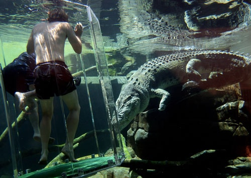 Australian cricketer Nathan Bracken (Left without top) and fielding coach Mike Young (L-obscured) dive in the 'Cage of Death' for an up-close experience with 80-year-old crocodile 'Chopper' (R) at Crocosaurus Cove in Darwin.