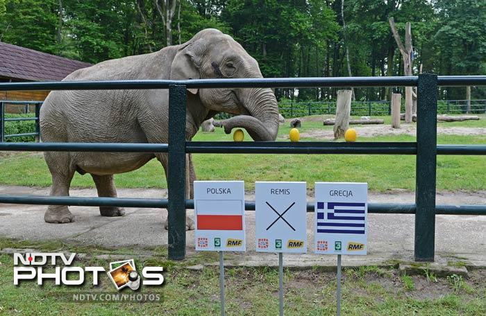 Oracle Citta, a 33-year-old female elephant chooses a melon above a sign indicating a win for the Poland football team at Krakow zoo in the southern Polish city of Krakow. (AFP Photo)