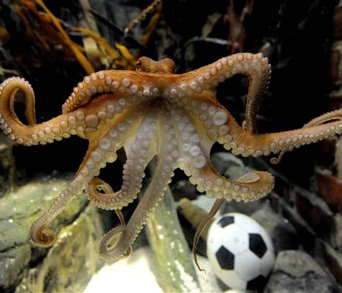 """It was Paul the Octopus during the FIFA World Cup in 2010 accurately predicting the results of football matches. Come Euro 2012, and the eight-legged creature's success has spawned a plethora of copycat """"psychics"""", including Citta the Elephant in Krakow and Funtik the Pig in Kiev. Interestingly, none of these wild oracles have achieved much success with their predictions. Here's quick look at these 'psychic animals'..."""