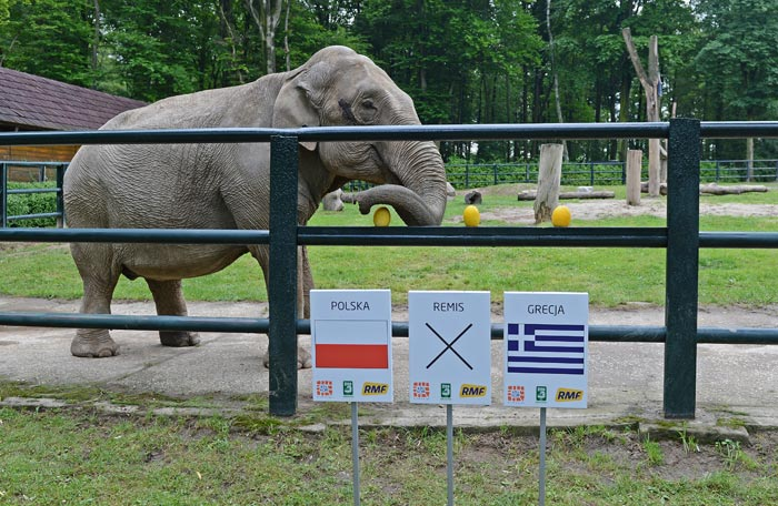 Citta, a 33-year-old female elephant chooses a melon above a sign indicating a win for the Poland football team at Krakow zoo at the zoo in the southern Polish city of Krakow.<br><br>Citta was given the option to choose between a win for the Poland football team, the Greek team or a draw between the two, for their first round match. Contrary to the prediction, the match ended in a draw. (AFP Photo)