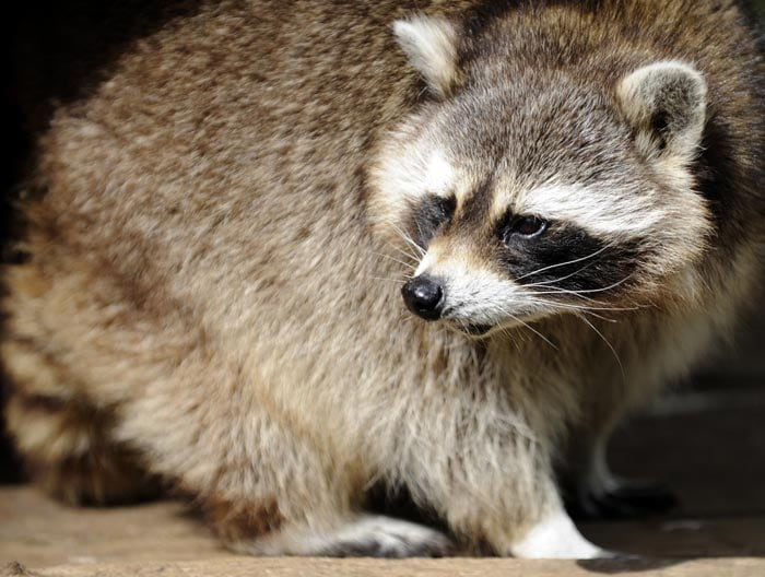 Rocky is a psychic raccoon at a British Zoo. He had predicted that England would beat France in their opening Euro 2012 match. The match ended in a draw.