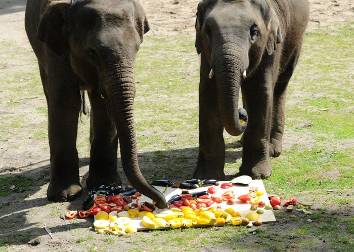 Elephants 'Shahrukh' and 'Shanti' eat fruits and vegetables decorated as a German flag with honeymelons and aubergines at Hagenbecks Tierpark inHamburg. The elephants correctly picked Germany as the winner against Portugal. (AFP Photo)