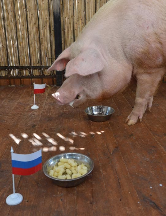 Funtik the pig picked Poland as the winner against Russia, but it was a draw. (AFP Photo)