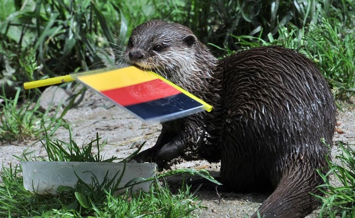 Otter 'Ferret' votes for Germany as it predicts the result of the upcoming Euro 2012 match of the Netherlands against Germany at the zoo in Aue, eastern Germany. Holland take on Germany in the Group B key clash on June 13, with the World Cup finalists knowing another defeat could threaten an early exit from Euro 2012 following their shock loss to Denmark. (AFP Photo)
