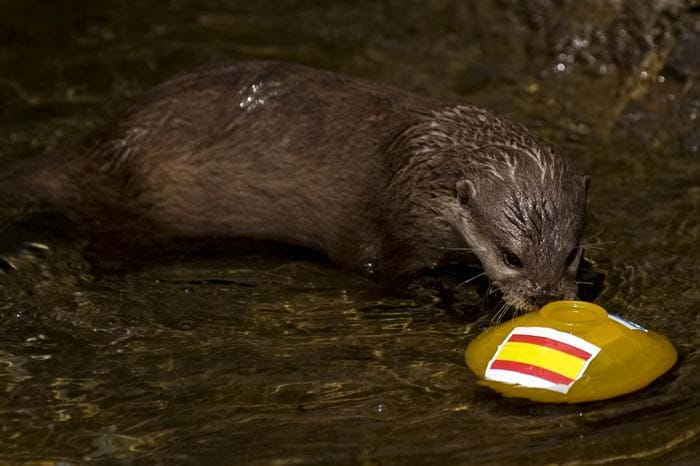 Another otter 'Maya' had chosen a glass jar marked with Spain's national flag, next to a jar with an Italian flag, at the SeaLife Aquarium in Benalmadena, during his prediction for the winner of Euro 2012 football championship match between Spain and Italy. The prediction was incorrect as the Italian team held the defending champions at a 1-1 draw. (AFP Photo)