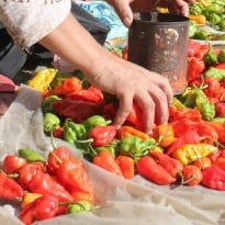 Meet One of the Spiciest Chillies on Planet - Bhut Jalokia