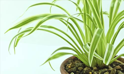 breathe clean 10 indoor plants that improve air quality. Black Bedroom Furniture Sets. Home Design Ideas