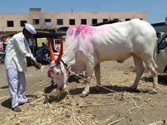 Drought, Cattle Crisis In Marathwada