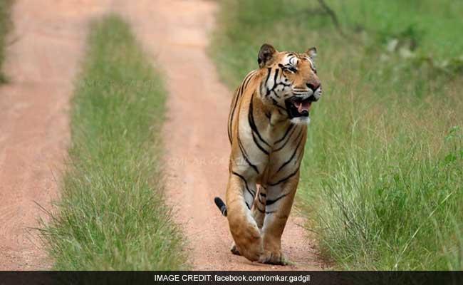Prayers In Maharashtra For Jai, Stunning Tiger Gone Missing