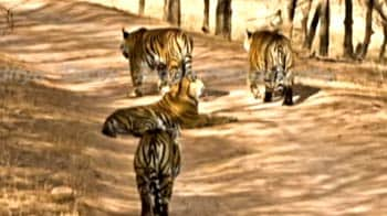 Video : Ranthambore: The legend of Machali