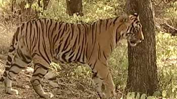 Video : Sariska: Breeding failure leaves lot to be desired