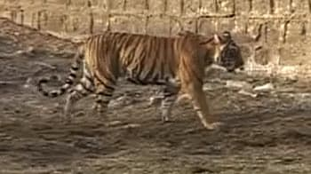 Video : Ranthambore: Tigers a burden for locals?