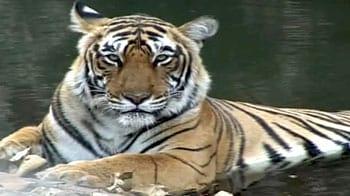 Video : रणथंभौर की मशहूर बाघिन 'मछली'