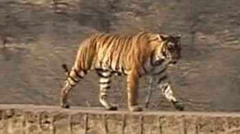 Video : On the tiger trail in Ranthambore