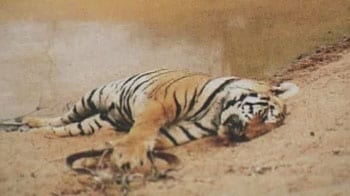 Video : All tiger deaths to be treated as cases of poaching