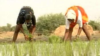 Video : 2012 Monsoon: Bumper crop or devastating drought?