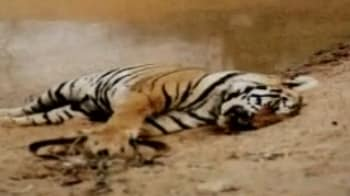 Video : Poaching threat to tigers