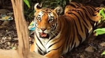 Video : Why saving our tigers is so important