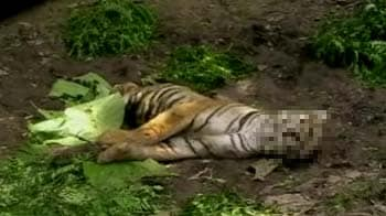 Video : Poaching fears return to Corbett with another tiger death