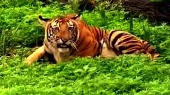 Video : Why Andhra Pradesh needs to protect its tigers