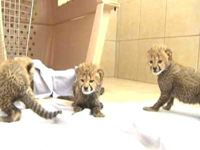 Video : Born Wild: Walking with cheetahs
