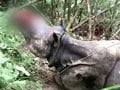 Video : Kaziranga rhino, mutilated by poachers, dies