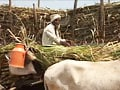 Video : Maharashtra drought: water siphoned by NCP sugar barons?