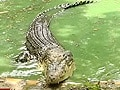 Video: Born Wild: Saving the crocodile (Aired: November 2003)