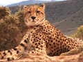 Video: Born Wild: The Cheetah (Aired: January 2008)