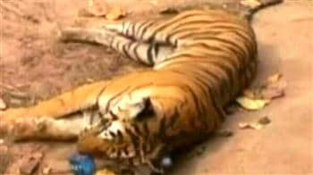 Video : Tigress killed by govt vehicle?