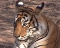 Video: Tiger loses paw to poachers' trap in Nagarhole