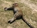 Video : Hunters appointed to kill man eating leopards