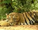 Video: Tiger land: Kanha-Pench landscape
