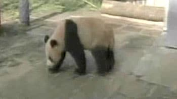 Video : China is now home to foreign pandas