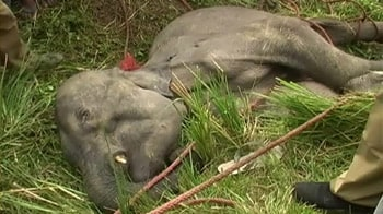 Video : Baby elephant killed with spears on camera