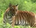 Video: The southern tiger zones