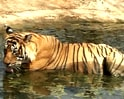 Video: Tiger land: Ranthambore