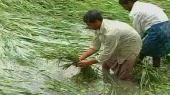 Video : Andhra Pradesh: Bumper crop washed away