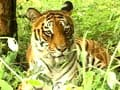 Video: Saving tigers, good economics?